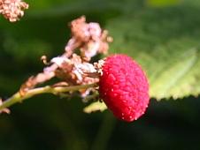 thimble-berry